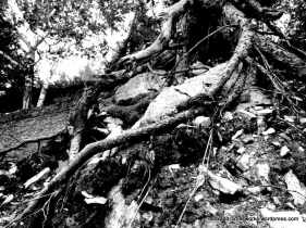 1-roots-on-rock-bw